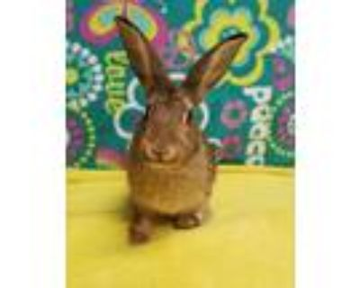 Adopt Rose a Chocolate American / New Zealand / Mixed rabbit in Eugene