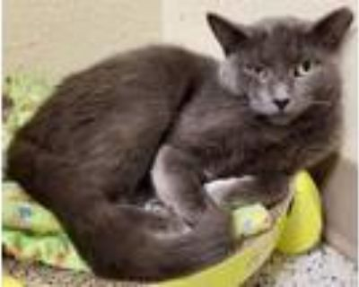 Adopt Space Ghost a Domestic Short Hair