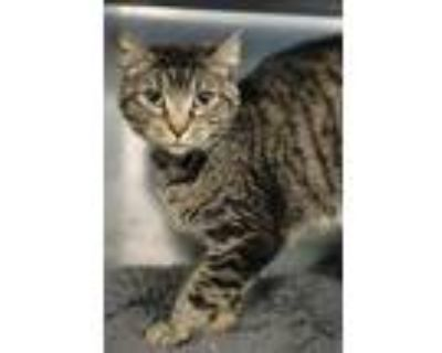 Adopt Clemi a All Black Domestic Shorthair / Domestic Shorthair / Mixed cat in
