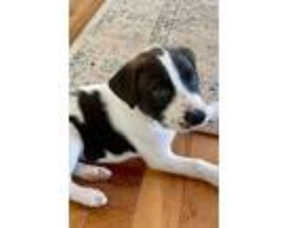 Adopt Epazote a White - with Black Pit Bull Terrier dog in Merrifield