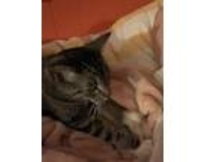 Adopt Diamond a Spotted Tabby/Leopard Spotted American Shorthair (short coat)