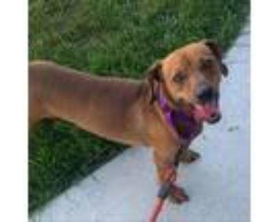 Adopt Thor a Brown/Chocolate Dachshund / Mixed dog in Olathe, KS (32111123)