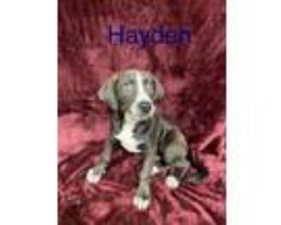 Adopt HAYDEN a Pit Bull Terrier, Mixed Breed