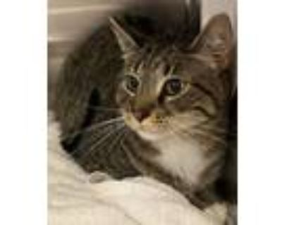 Mike, Domestic Shorthair For Adoption In New Albany, Indiana