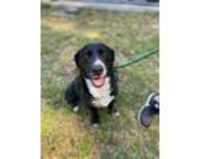Adopt Lulu a Black - with White Border Collie / Basset Hound / Mixed dog in