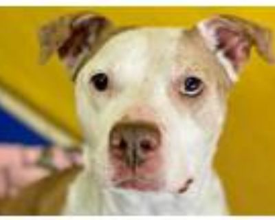 Adopt CLANCY a Tan/Yellow/Fawn - with White American Pit Bull Terrier / Mixed