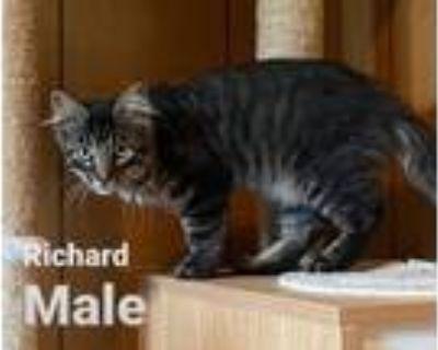Adopt Richard a Maine Coon, Domestic Medium Hair