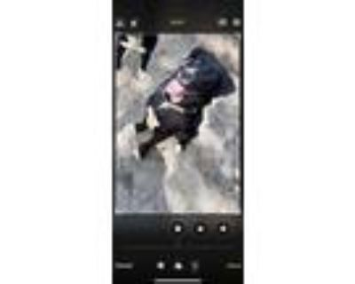 Adopt Solo a Black - with White Great Pyrenees / Labrador Retriever dog in