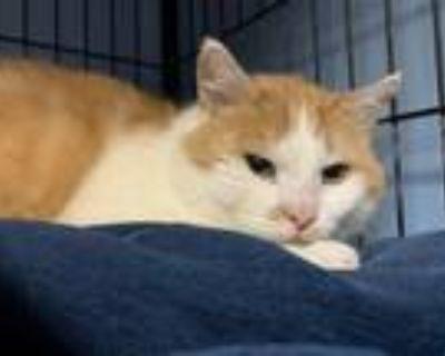 Adopt Tiberius a Domestic Shorthair / Mixed cat in Wilmington, DE (30823321)