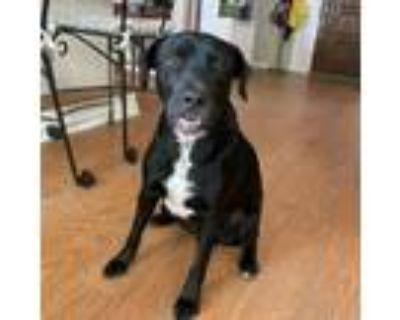 Adopt Ulysses a Black Labrador Retriever