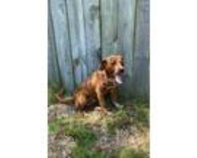 Adopt Tulip a Brown/Chocolate Golden Retriever / Labrador Retriever / Mixed dog