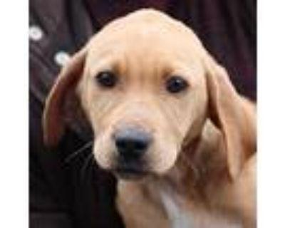 Adopt Randolph a Labrador Retriever / Mixed dog in Chantilly, VA (32003157)