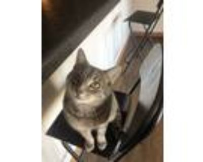 Adopt Frodo a Tiger Striped Domestic Shorthair / Mixed (short coat) cat in