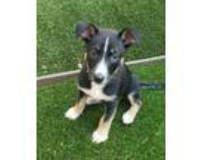 Adopt Whitney a Husky, Labrador Retriever