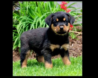Come Visit Us!!!Rottweiler Puppies❤️❤️