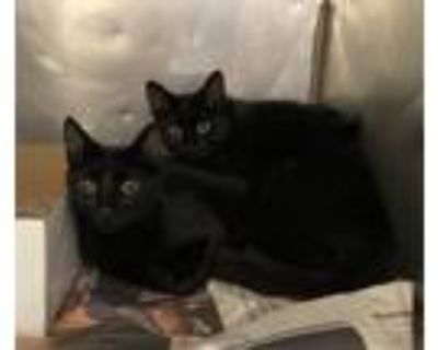 Adopt Iris and Ivy a All Black Domestic Shorthair / Mixed (short coat) cat in