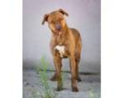 Adopt Lizzy a American Staffordshire Terrier, Mixed Breed