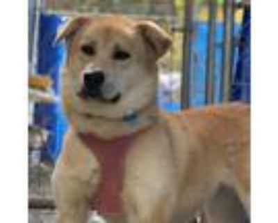 Adopt Chee Yoo a Golden Retriever / Shiba Inu / Mixed dog in San Pablo