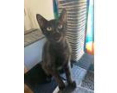 Adopt Joe a All Black Domestic Mediumhair (medium coat) cat in Culver City