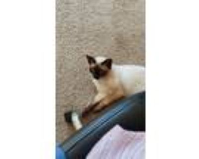 Adopt Roux a Cream or Ivory (Mostly) Siamese / Mixed (short coat) cat in Dayton