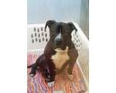 Adopt Titus a Black American Pit Bull Terrier / Mixed dog in Washington