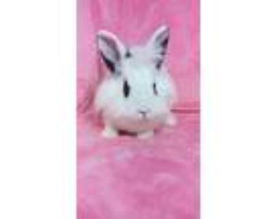 Adopt Sonnet a White Lionhead / Mixed (medium coat) rabbit in lake elsinore