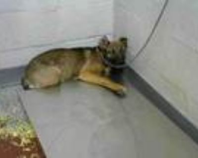 Adopt PENNY BROWN a German Shepherd Dog, Mixed Breed
