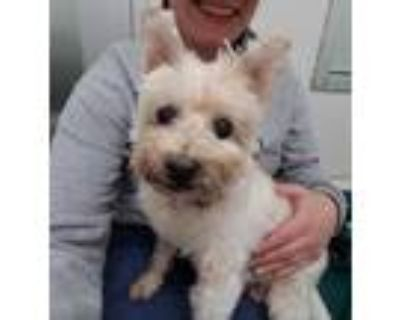 Adopt Maggie May 29292-d a White Westie, West Highland White Terrier / Poodle