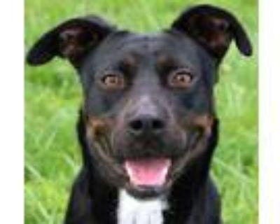 Adopt Luna a Labrador Retriever, Mixed Breed