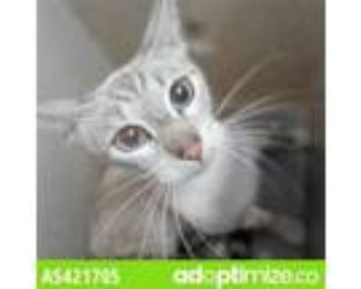 Adopt A5421705 a Siamese
