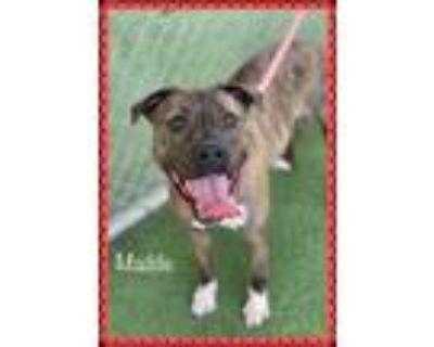 Adopt STELLA a Brindle - with White Boxer / Mixed dog in Marietta, GA (31607615)