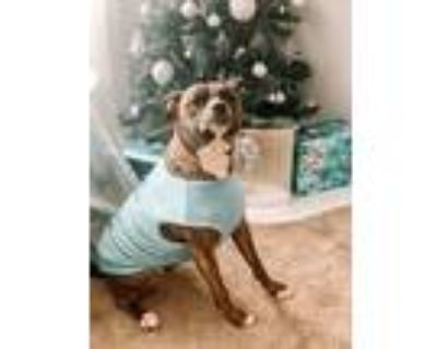Adopt Princess a Brindle American Staffordshire Terrier / Mixed dog in Dayton
