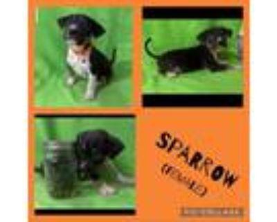Adopt Sparrow a Boxer