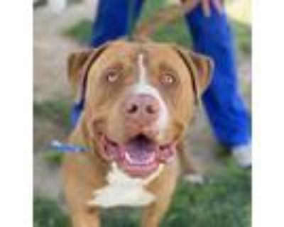 Adopt Coco a Merle Pit Bull Terrier / American Staffordshire Terrier / Mixed dog