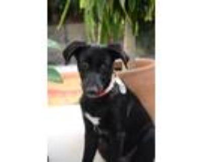 Adopt Tilly a Black Anatolian Shepherd / Labrador Retriever / Mixed dog in Van