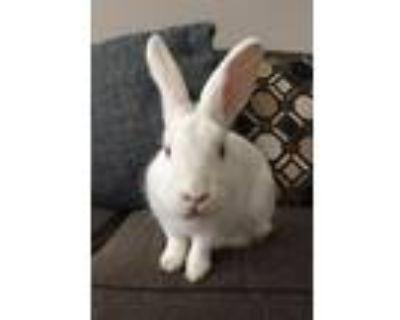 Adopt Obi a White New Zealand / Mixed (medium coat) rabbit in San Jose