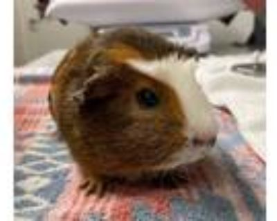 Adopt BUTTER a Red Guinea Pig (short coat) small animal in Tucson, AZ (32112757)