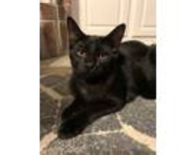 Adopt Shirley a All Black Domestic Shorthair (short coat) cat in Shreveport