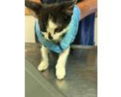 Adopt 48032987 a All Black Domestic Shorthair / Domestic Shorthair / Mixed cat