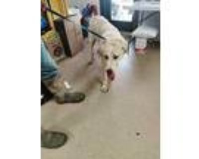Adopt Filly a White Great Pyrenees / Mixed dog in Fort Worth, TX (31376356)