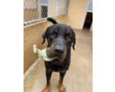 Adopt Bruno a Rottweiler