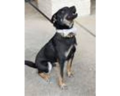 Adopt Lucki a Australian Cattle Dog / Manchester Terrier / Mixed dog in