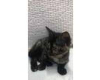 Adopt 47860280 a All Black Domestic Shorthair / Domestic Shorthair / Mixed cat