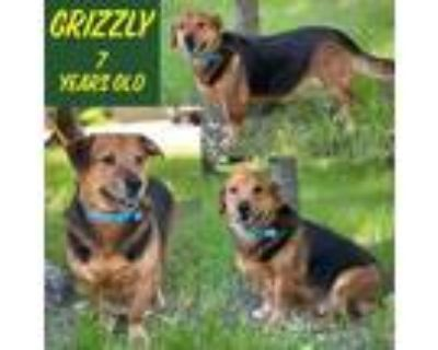 Adopt Grizzly a Black - with Tan, Yellow or Fawn Basset Hound / Labrador