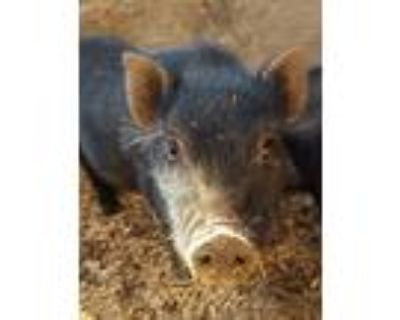Adopt Buzz a Pig (Potbellied) farm-type animal in Bakersfield, CA (30701950)