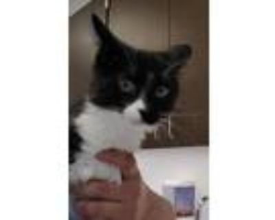 Adopt Beebo a Domestic Shorthair / Mixed cat in Houston, TX (32063457)