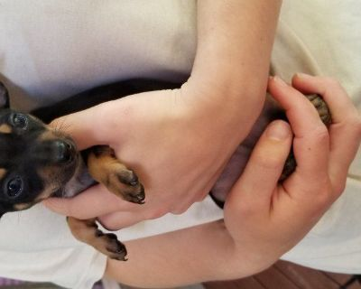 Puppy chihuahuas for sale