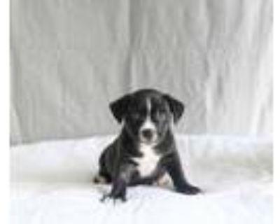 Adopt Trevor a Black Labrador Retriever / American Staffordshire Terrier / Mixed
