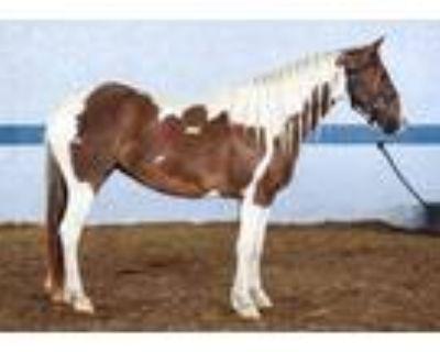 Adopt Diamond a White Grade / Mixed horse in Louisville, KY (31100075)