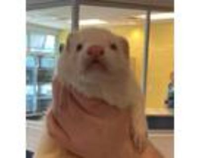 Adopt Boots a Ferret small animal in Golden, CO (31945701)